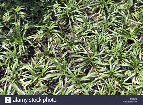 Ophiopogon Japonicus Stock Photos & Ophiopogon Japonicus