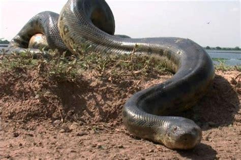 video una anaconda de dos metros en el club regatas