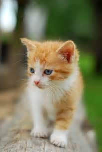 Orange and White Tabby Cat Kitten