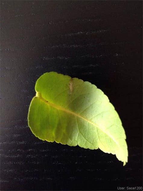 schaedlinge krankheiten zitronenbaum gelbe blaetter