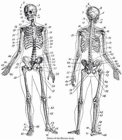 Skeleton Anatomy Printable Fairy Human Graphics Clipart