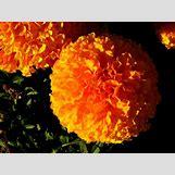 Marigold Flower Wallpaper | 1600 x 1200 jpeg 188kB