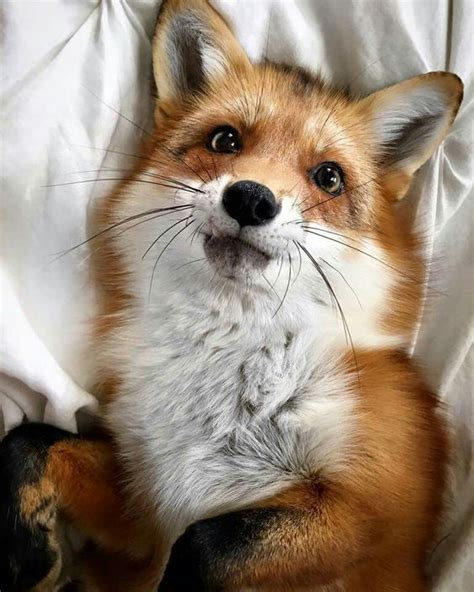how cute pet foxes steal your heart pets piccolo and on