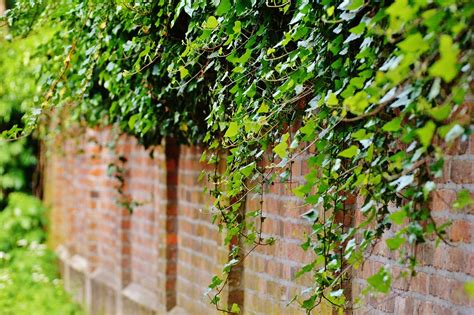 Wall Climbing Plants Ivy · Free Photo On Pixabay