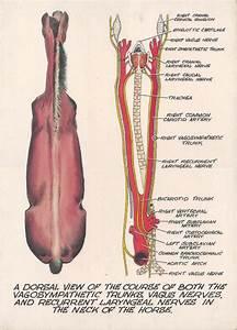 Cow Anatomy Abdomen