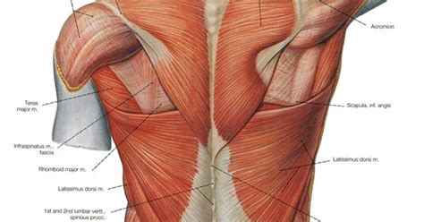 The scapula (shoulder blade) is elevated by the trapezius muscle, which runs from the back of the neck to the middle of the back, by the rhomboid major and rhomboid minor muscles in the upper back, and by the levator scapulae muscle, which runs along the side and back of the neck. Lower Back Muscles Diagram - Human Anatomy Diagram   AGC character project   Pinterest   Human ...