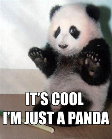 Cute Panda Memes - community post it s cool i m just a panda panda animal and funny animal