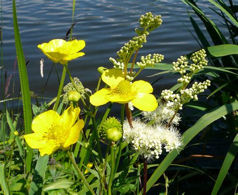 Various Native British Pond Marginal Plants Water Bog
