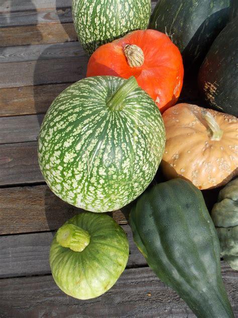 cuisiner des patissons ecolo bio nature permaculture urbaine et jardinage bio la récolte 2014 des courges a été bonne