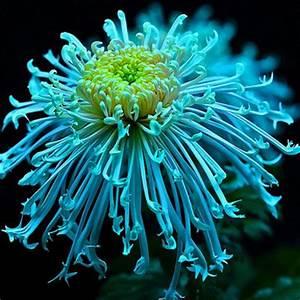 Chrysanthemum - My Honeys Place