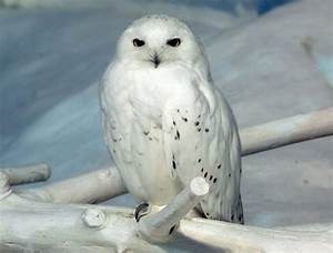 Baby Snowy Owls Gallery for baby snowy owls... | Snowy owl ...