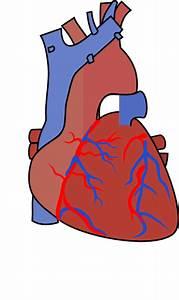 Heart Diagram Vein Clip Art At Clker Com