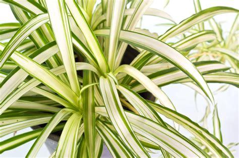 Zimmerpflanzen Portraet Gruenlilie by Gr 252 Nlilie Hat Braune Spitzen 187 Woran Kann S Liegen