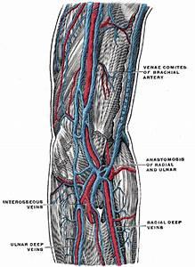Vascular Anatomy Of The Elbow