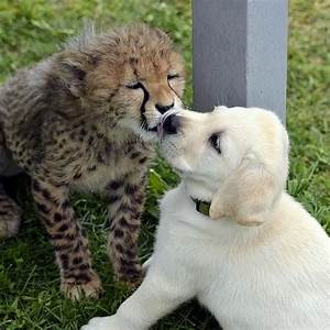Baby Cheetah and Puppy playing at Columbus Zoo – Cool ...