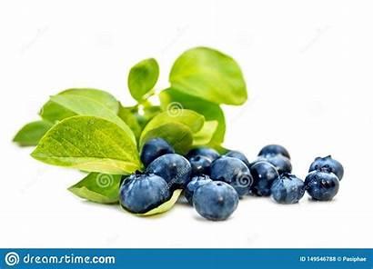 Blueberries Isolated American Leaves Bilberries