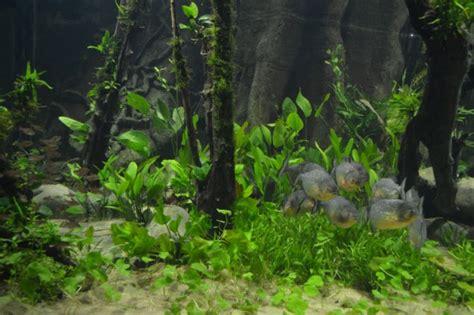 Aquascape Piranha by Sea Piranha Tank Gets An Aquascaping Makeover