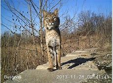 Southwest Ohio Bobcats sightings include Butler County