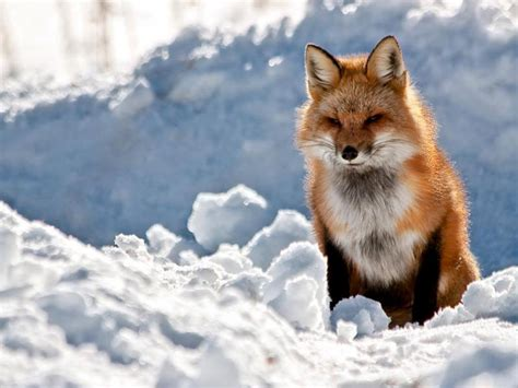 Fox Animal Wallpaper - fox wallpapers wallpaper cave