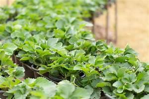 Erdbeeren Richtig Pflanzen : erdbeeren schneiden so machen sie es richtig ~ Lizthompson.info Haus und Dekorationen
