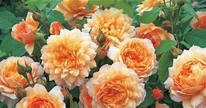 Rose Mein Schöner Garten : englische rose grace informationen tipps tricks ~ Lizthompson.info Haus und Dekorationen