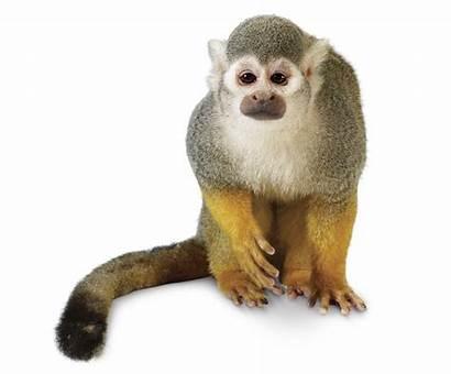 Monkey Squirrel Emergent Layer Monkeys Primates Common