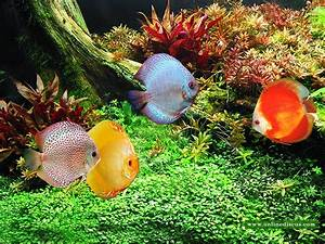 discus fish quality - Discus fish like clean water and a ...