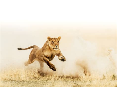 Incredible Pictures Of A Lioness Running Down Her Prey