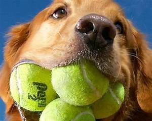 Most tennis balls in mouth   15 pets with Guinness World ...