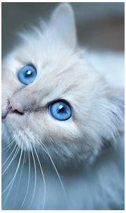Burmese cat, blue eyes, white kitten wallpaper | animals ...