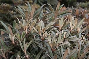Rhododendron Eingerollte Blätter : 10 best exklusive rhododendron mit besonderem blattwerk images on pinterest lace light ~ Markanthonyermac.com Haus und Dekorationen
