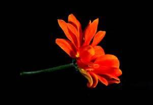Black And Orange Flower Wallpaper by Flower Hd Wallpaper Background Image 1920x1316 Id