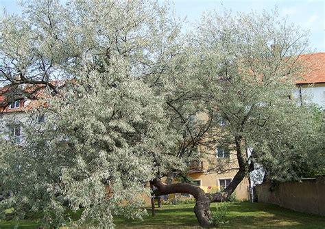 elaeagnus angustifolia mediterranes aussehen