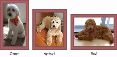Colors Coat Goldendoodle Types Chocolate Patterns Acres