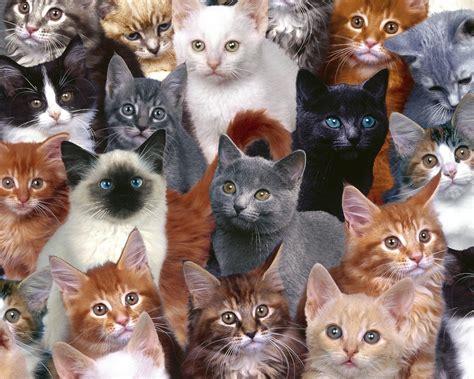 cat color vision color vision cat breeds