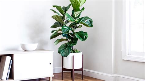 How To Keep Your Fiddle-leaf Fig Alive And Happy