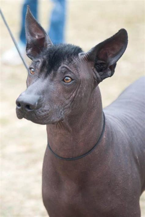 xoloitzcuintli hairless dog breed  charming hairless