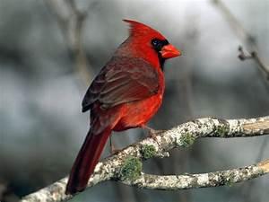 Wild life: Cardinal birds wallpaper | wild birds