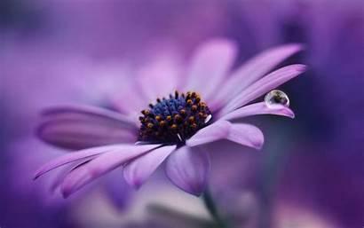 Flower Purple Daisy Flowers Petals Lilac Close