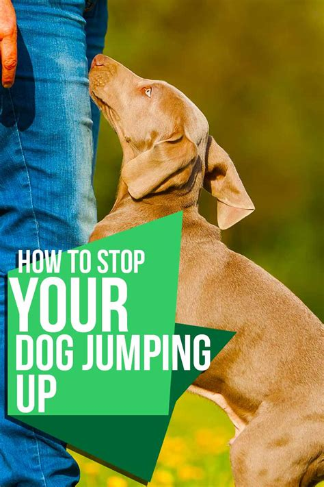 How To Stop My Puppy Jumping On The Sofa by How To Stop A Jumping Up
