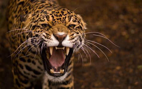 Jaguar Animal Hd Wallpapers - jaguar wallpapers hd wallpapers id 11887