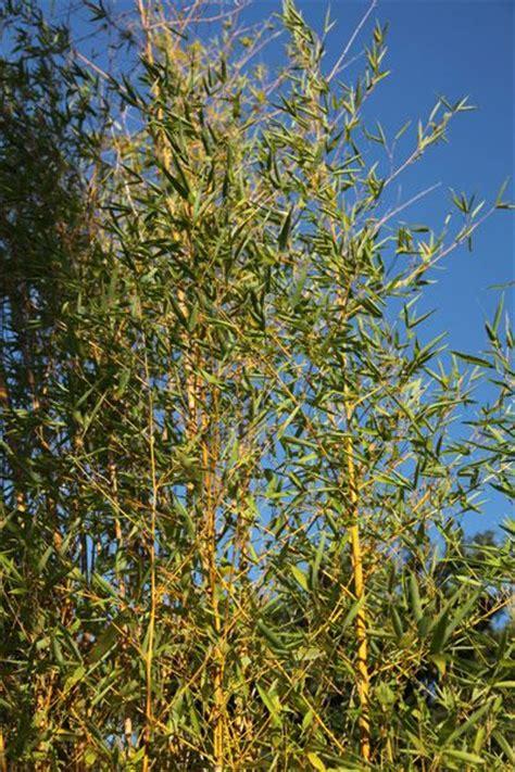 25 best ideas about phyllostachys aurea on bambou d agglutination bambou en pot