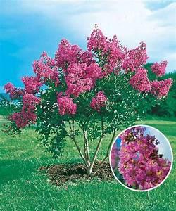 Taille Du Lilas Des Indes : taille du lilas des indes ~ Nature-et-papiers.com Idées de Décoration