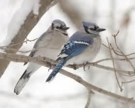 Female Blue Jay Birds