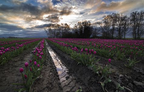 Tulip Festival Photography Tours