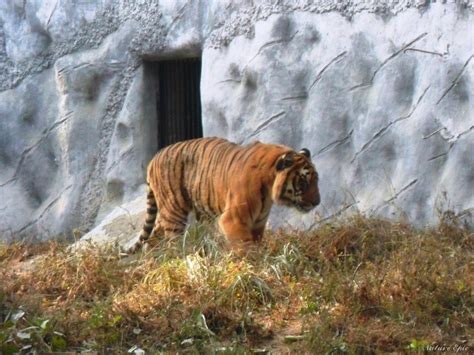 zoo forest tiger kanpur allen fee bengal entry timings address