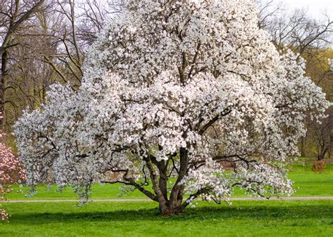 images flowering trees white flowering trees www pixshark com images galleries with a bite