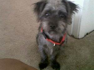 Lost black/white shih tzu mix terrier - Houston SPCA