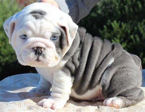 english bulldog puppies  sale   english
