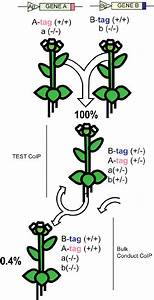 Crossing and selection of transgenic lines stably ...